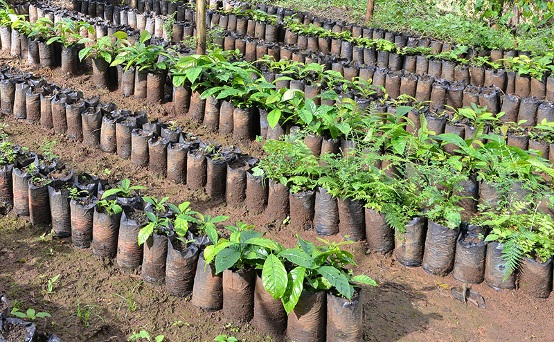 Plantones para proyectos de reforestación del Canal.